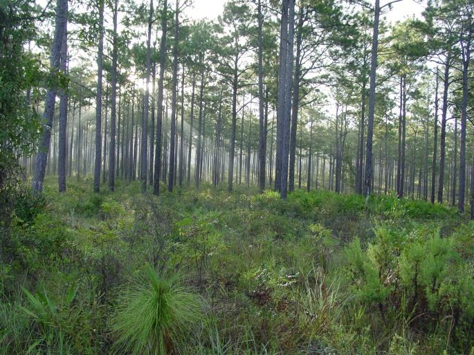 longleaf-pine-stand-credit-florida-forest-service